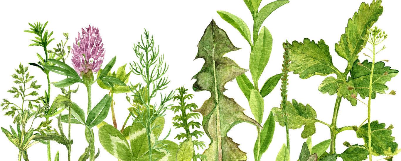 Zeichnung verschiedener Kräuter und Pflanzen.