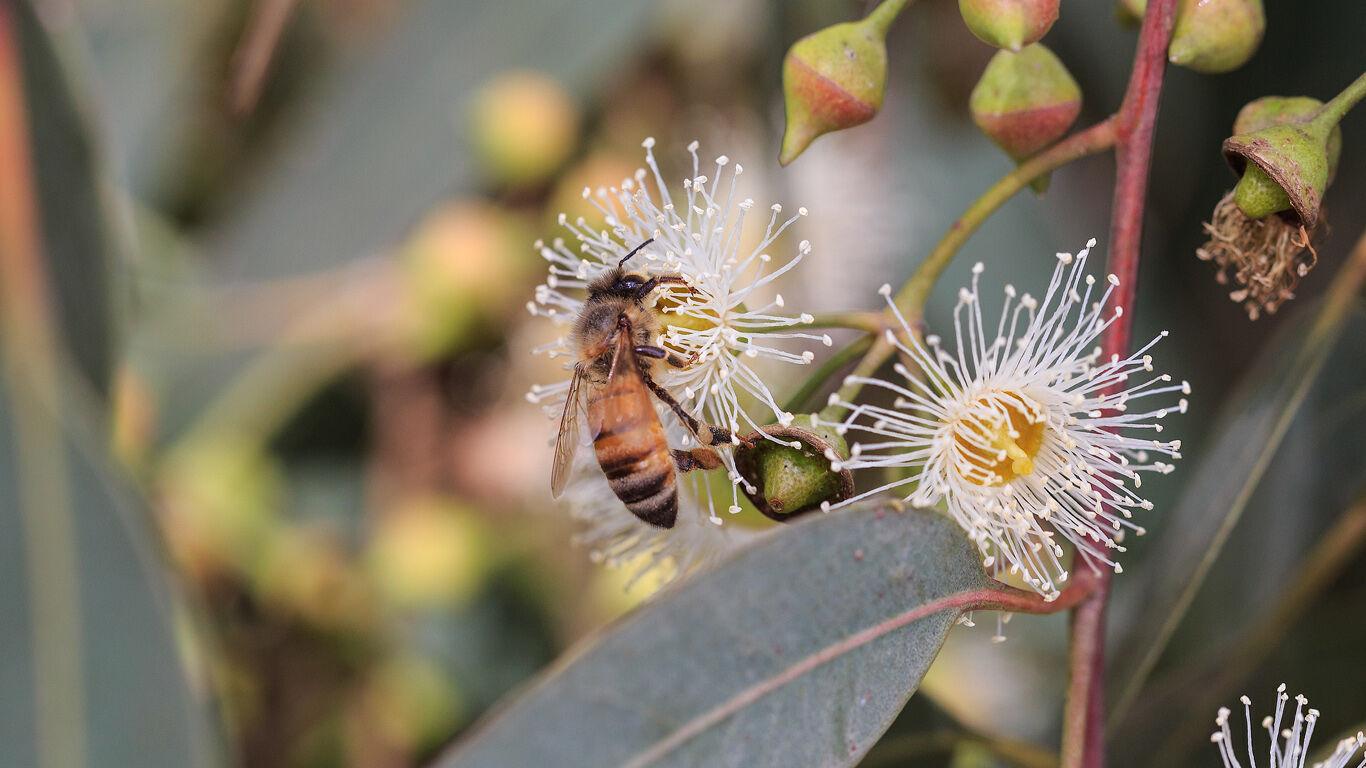 Nahaufnahme von einem Insekt an einer Eukalyptusblüte.