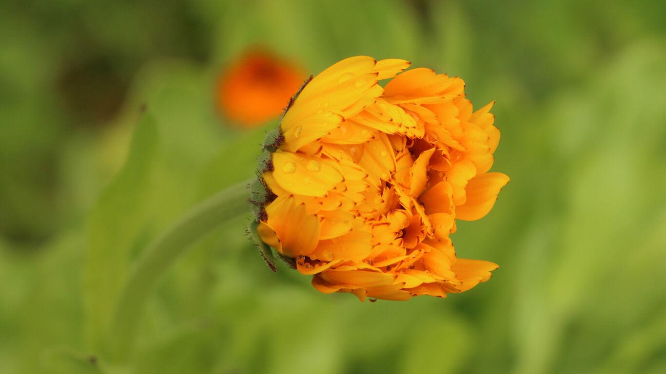 Die Ringelblume ist auch bekannt als Butterblume