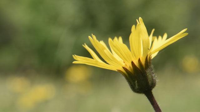 Die Arnikapflanze bei Kneipp