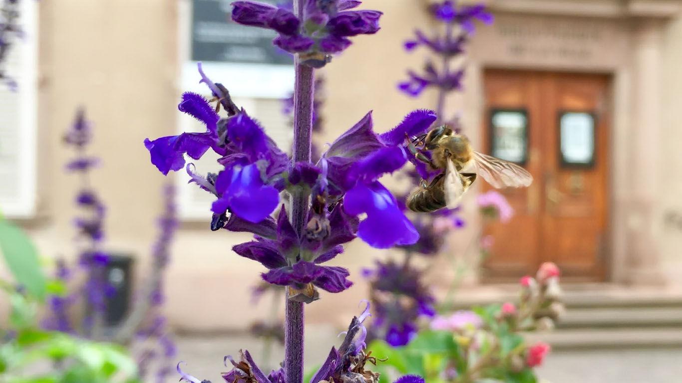 Stadtimker: Bienen als Hobby