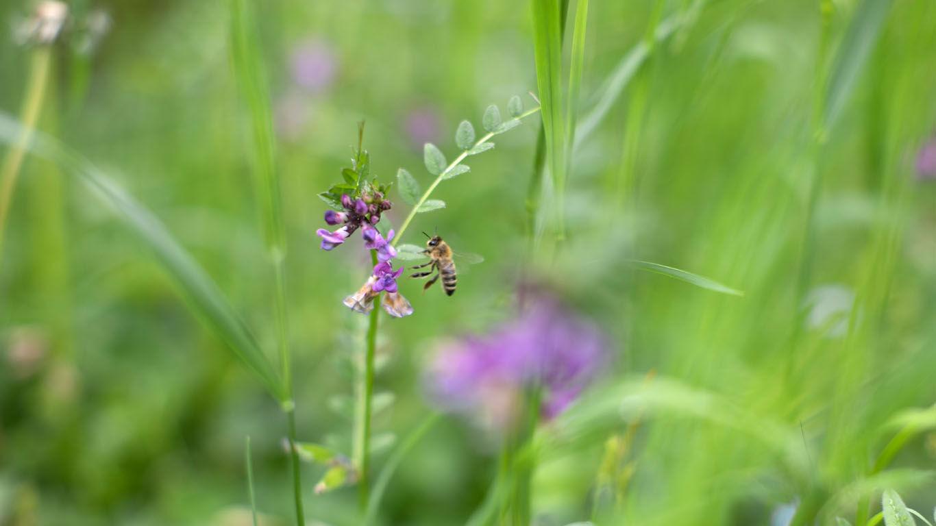Biene auf Nahrungssuche