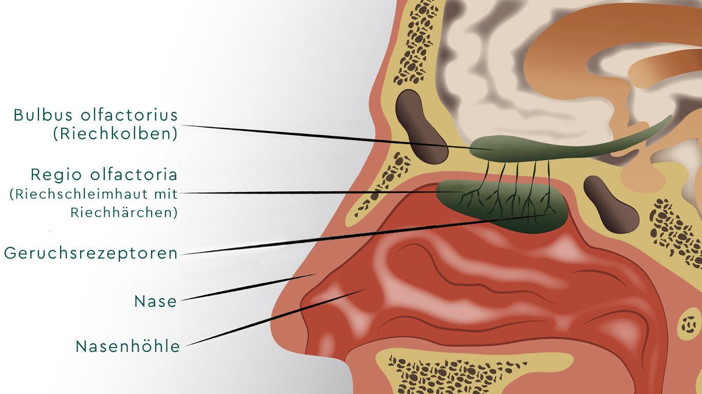 Aufbau der Nase im Querschnitt