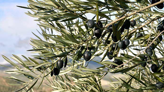 Oliven am Baum.