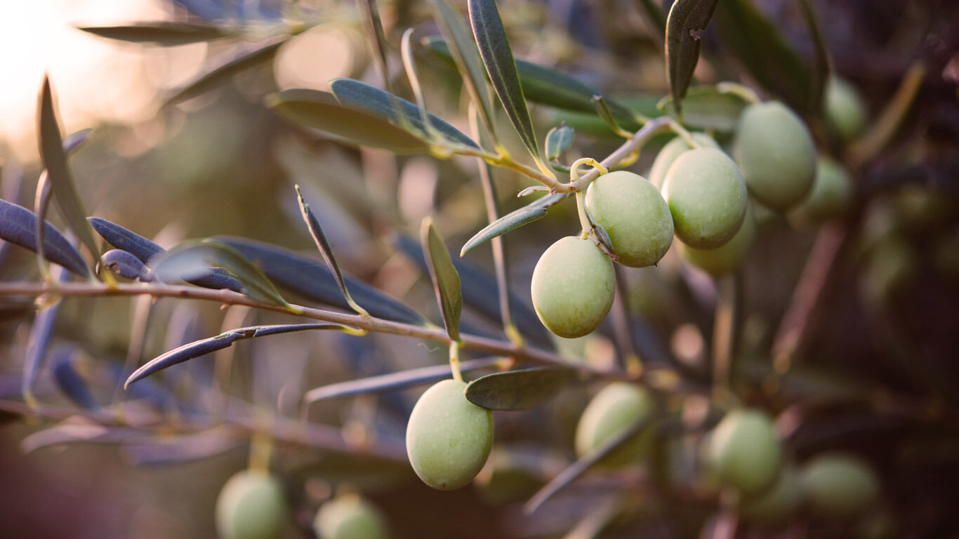 Wissenswertes zur Olive