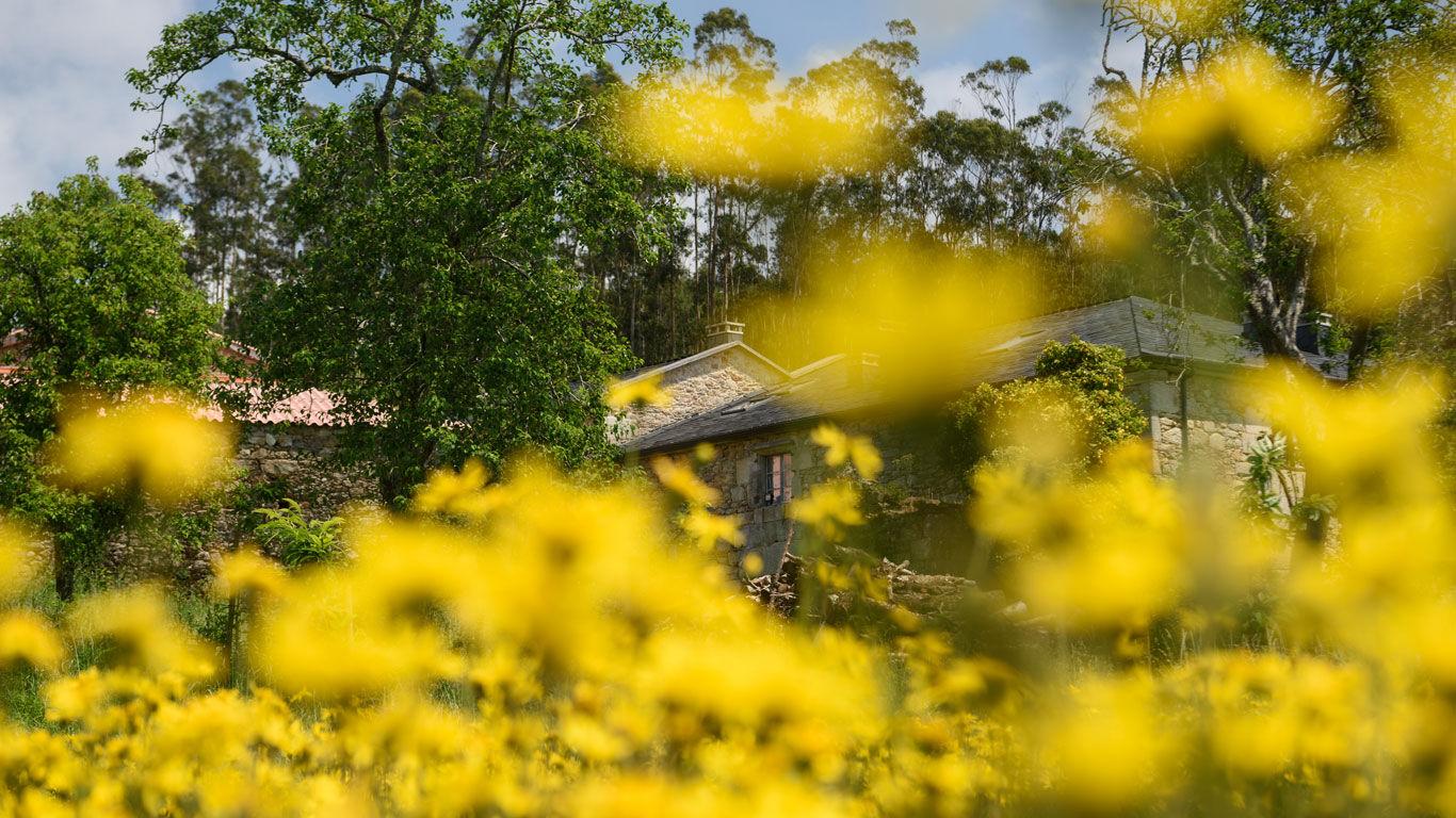 Arnika-Pflanzen auf dem Feld für den Arnika-Anbau