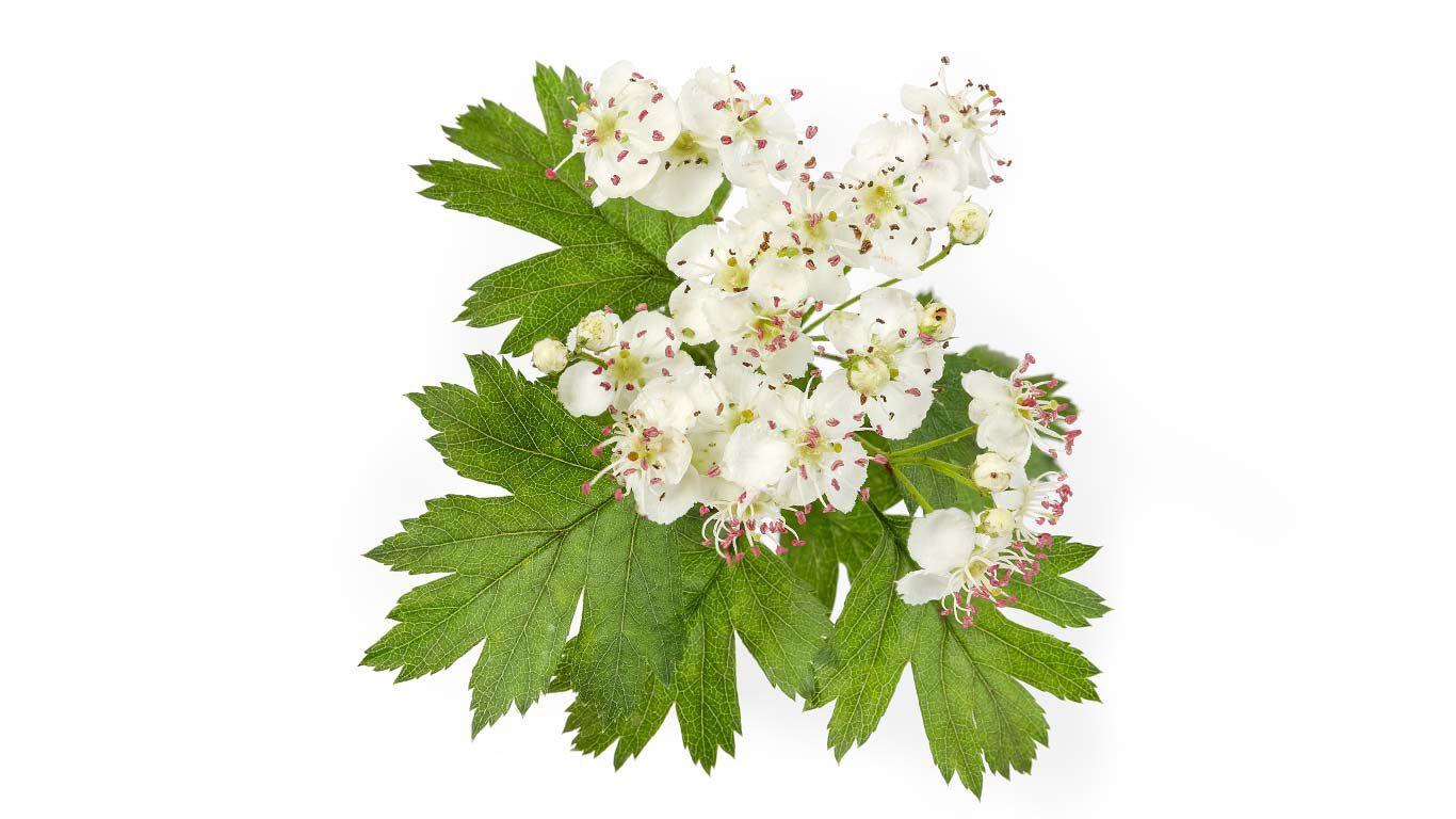 Nahaufnahme einer Weißdorn Blüte