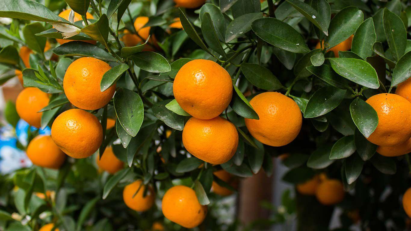 Orangefarbene Mandarinen am Baum