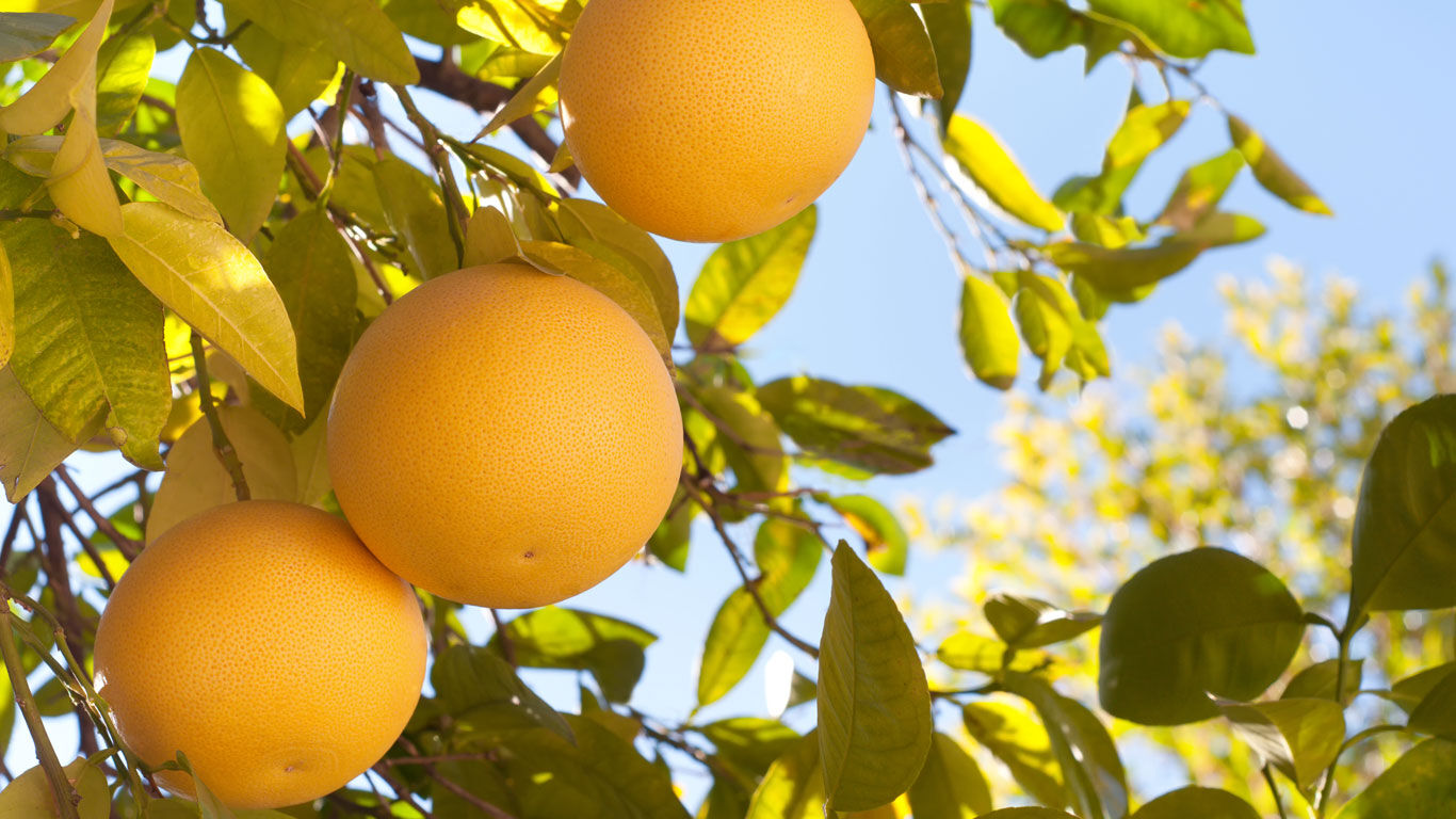 Pflanzenwissen zur Grapefruit