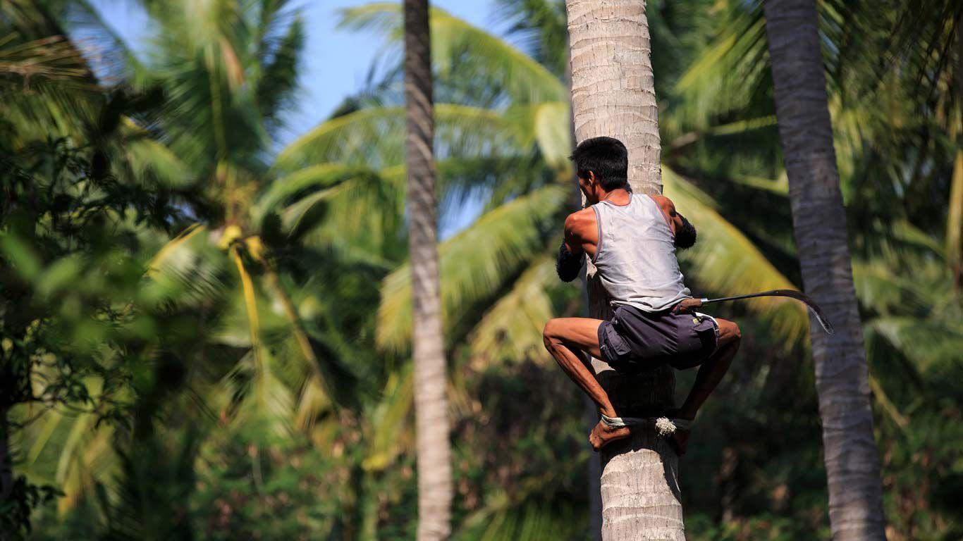 Mann klettert auf Palme, um Kokosnüsse zu ernten