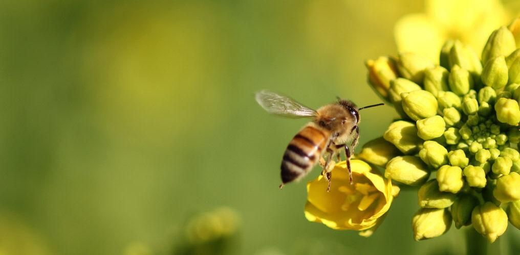 Bienen fördern die Artenvielfalt