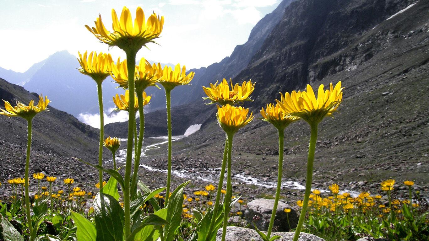 Arnika-Pflanze in den Bergen