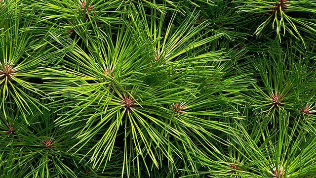 Die Kiefer im Kneipp Pflanzenlexikon