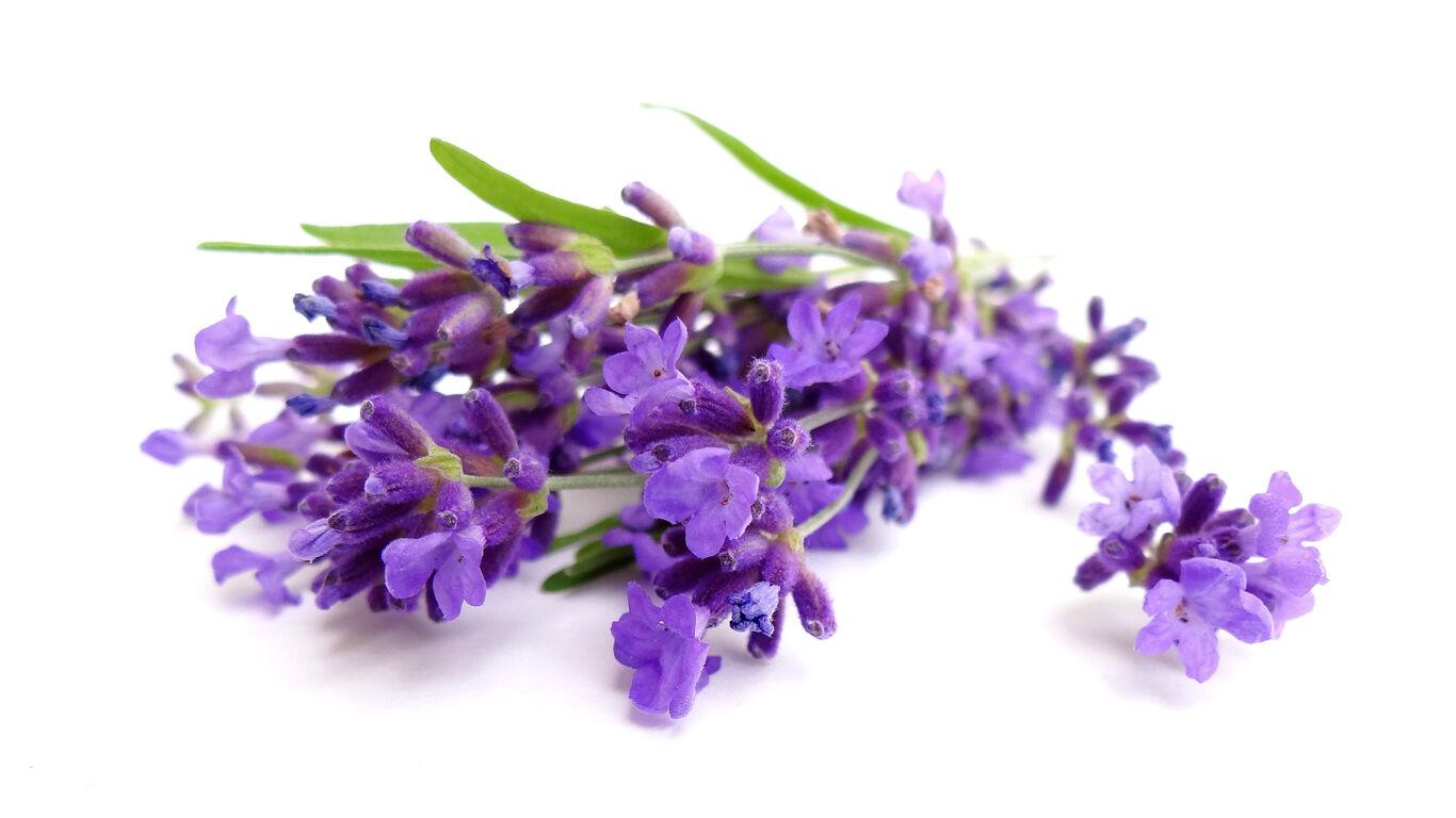 Lavendel sorgt für Harmonie und Beruhigung der Nerven