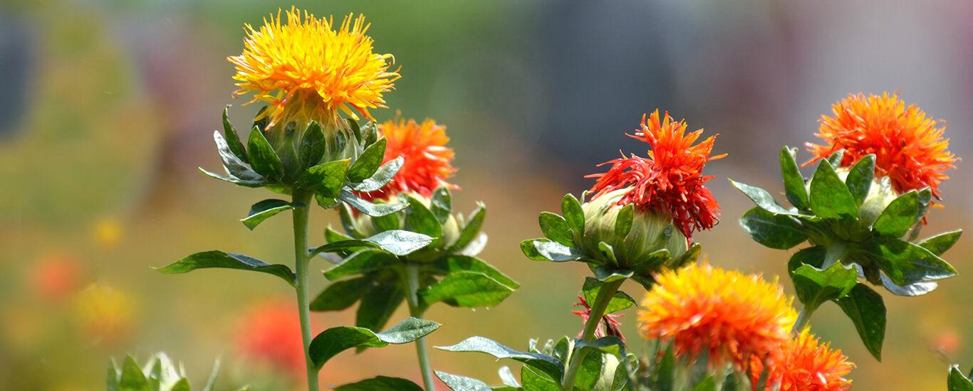 Aufnahme von rot-gelben und orangenen Blüten der Distel