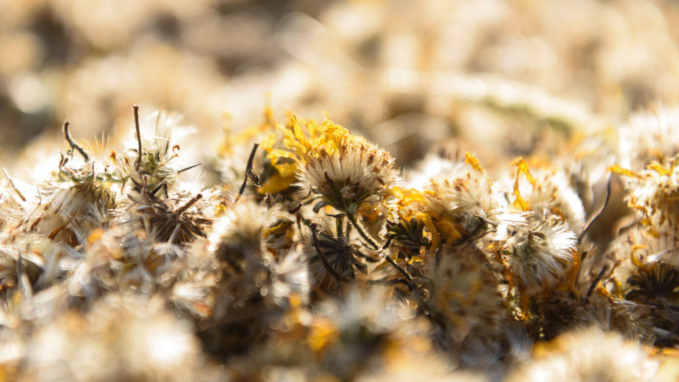 Die Arnika-Samen werden aus den getrockneten Arnika-Blumen gewonnen