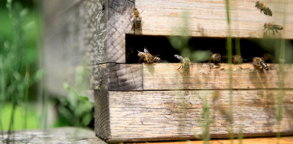 Stadtbienen produzieren Honig