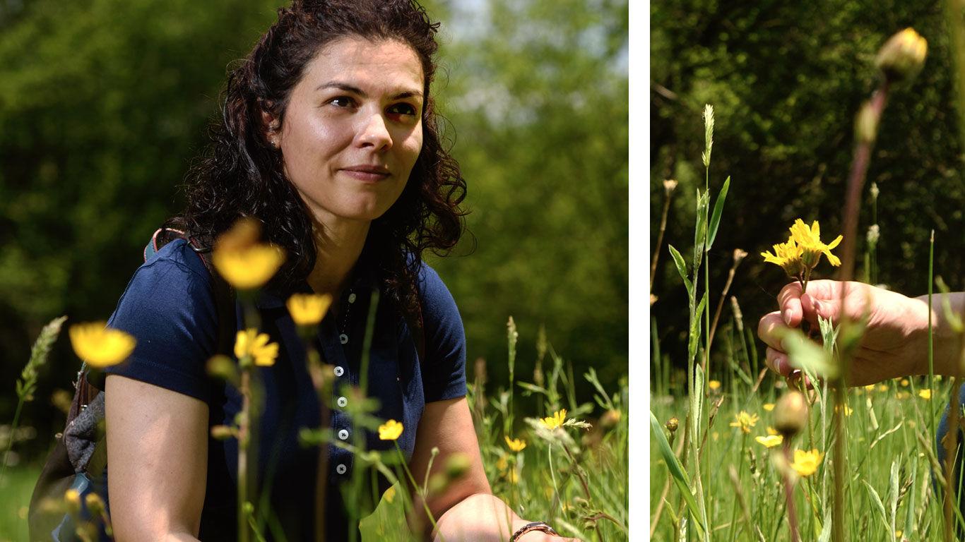 Arnika nachhaltig sammeln: kontrollierte Wildsammlung