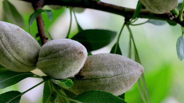 Mandelfrüchte am Mandelbaum.
