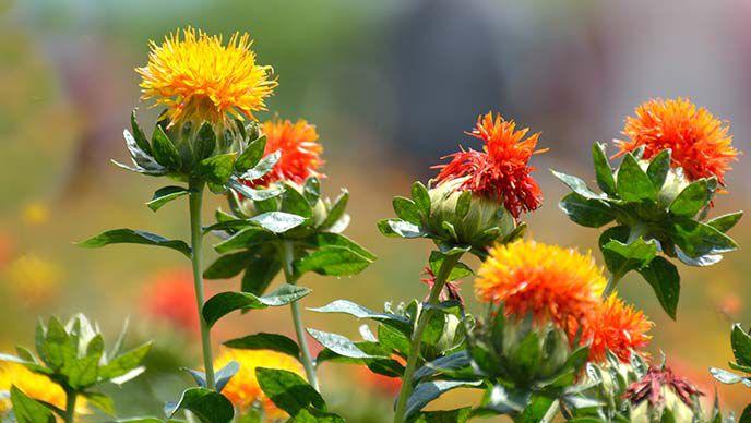 Distel Pflanzen