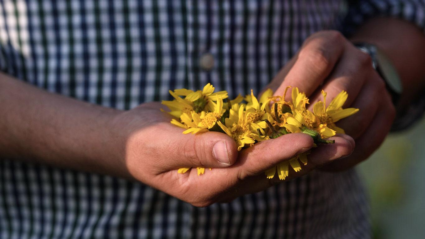Arnika Blumen: die Arnika montana