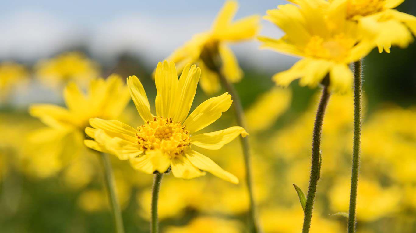 Die Arnika-Pflanze blüht strahlend gelb