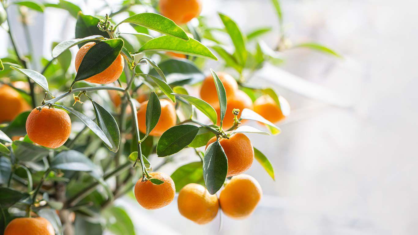 Mandarinenfrüchte an einem Baum.