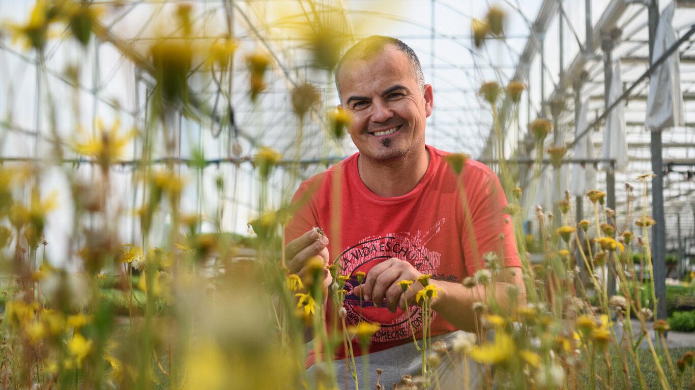 Arnika-Samen sehen aus wie Pusteblumen