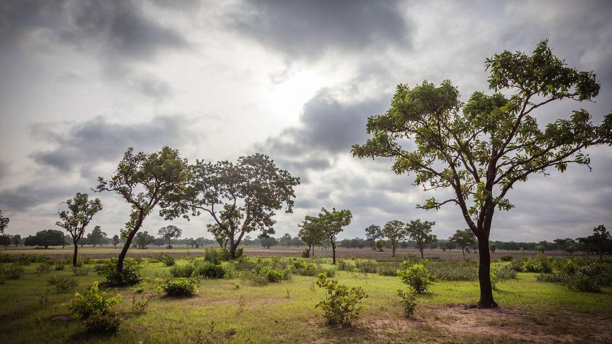 Des Sheabaum wächst in West- und Zentralafrika