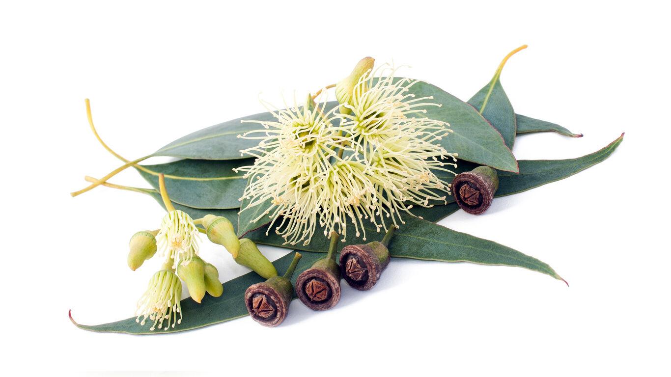 Kneipp Pflanzen Lexikon Eukalyptus