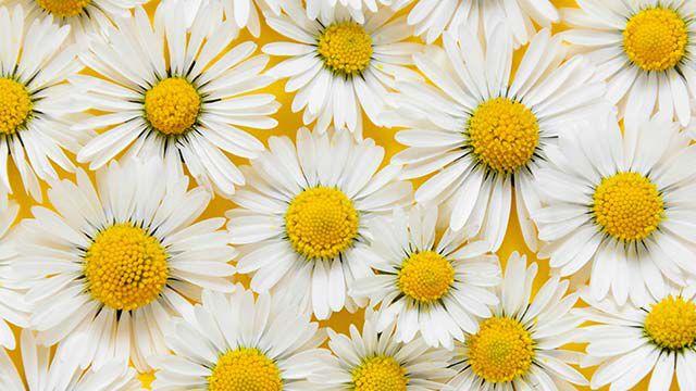 Nahaufnahme von vielen Gänseblümchen-Blüten