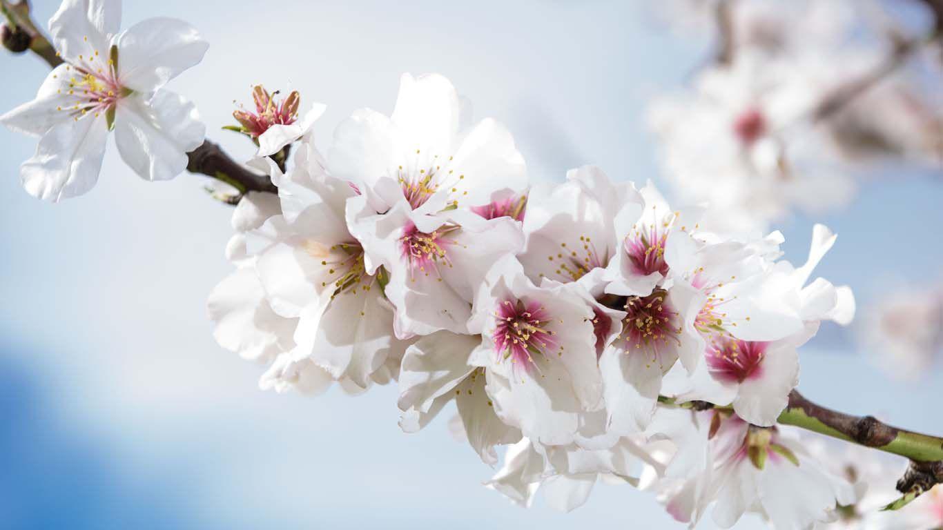 Blütenpracht eines Mandelbaumes