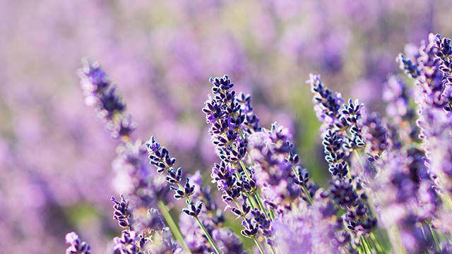 Nahaufnahme von Lavendel im Feld