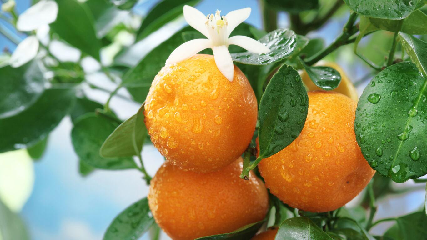 Die zitrisch duftende Frucht des Orangenbaums