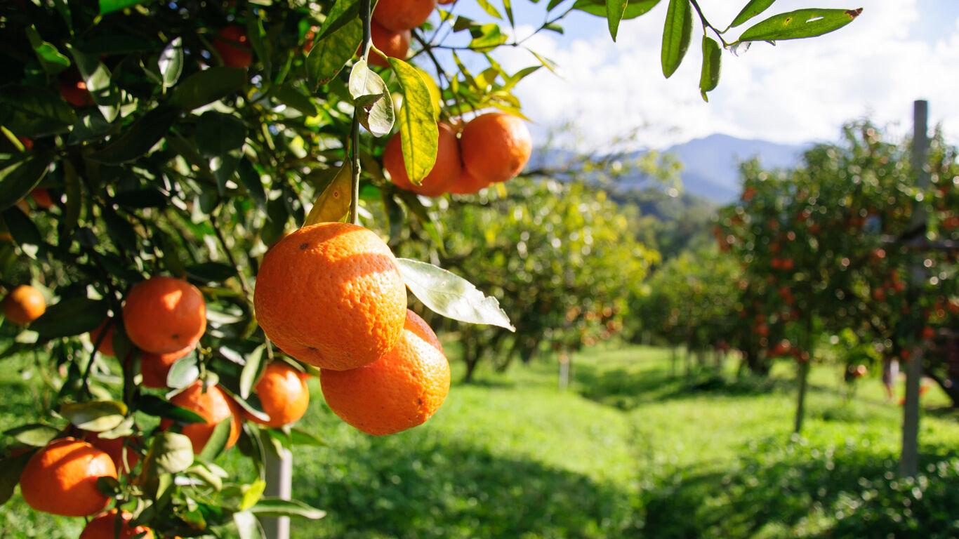Wissenswertes zur Orange