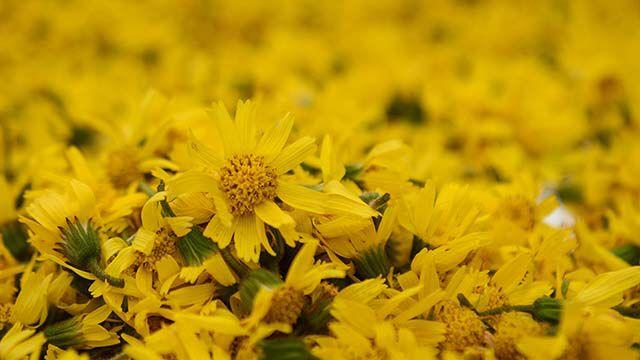 Nahaufnahme von Arnika-Blüten