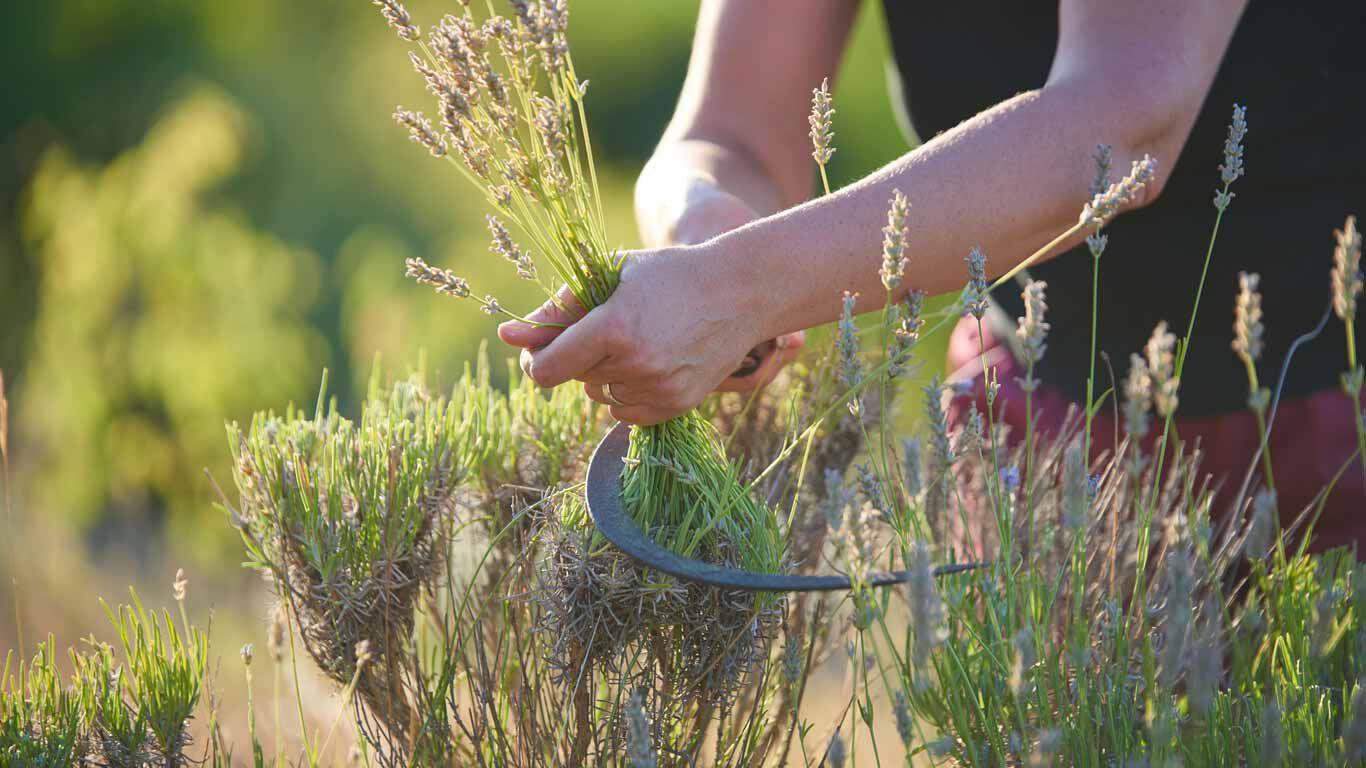 Aus Lavendel kann mit dem Ölauszug das ätherische Öl gewonnen werden