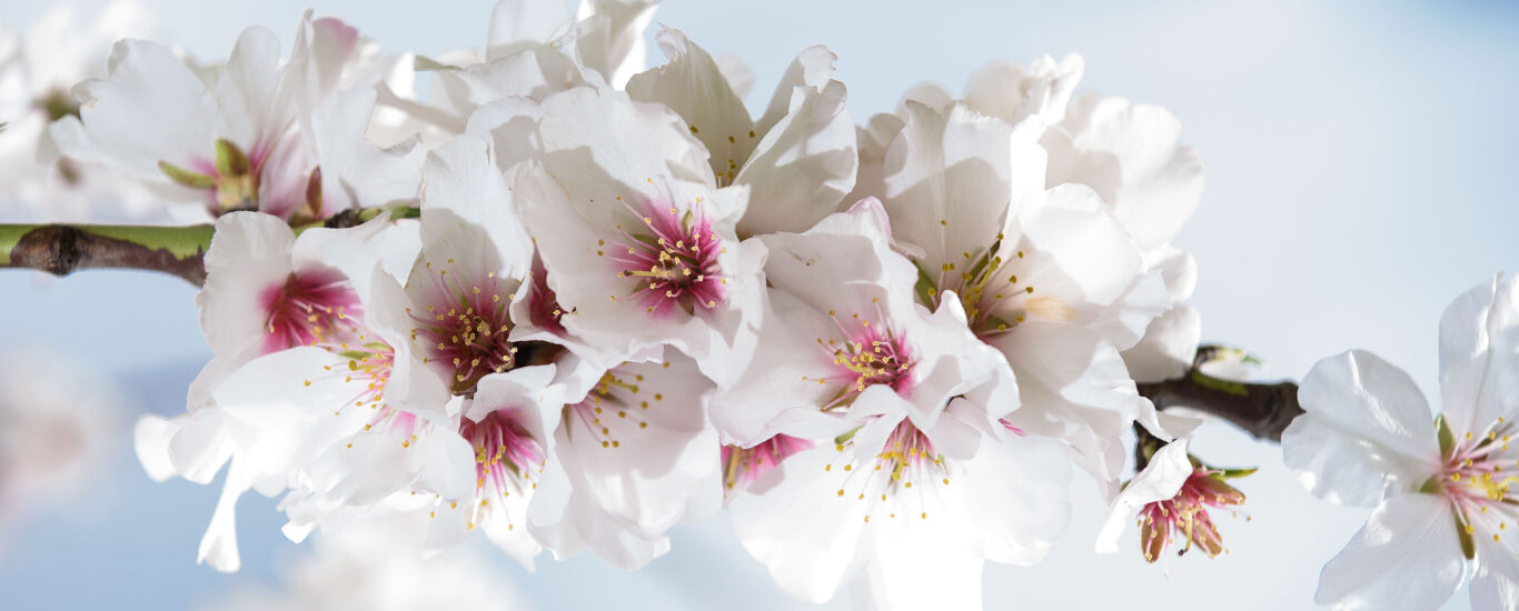 Nauhaufnahme eines Astes vom Mandelbaum mit Blüten