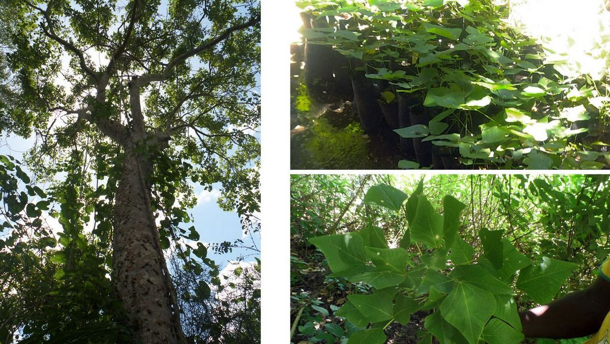 Engagement für die Heilpflanze Erythrina-schelbenii